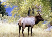 Moose & Elk picture PH7723432