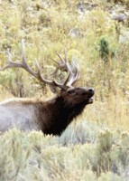 Moose & Elk picture PH7723468