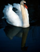 Swan picture PH7729150
