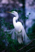 Egret picture PH7765938