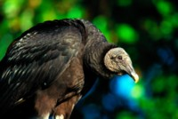 Vulture picture PH7766113