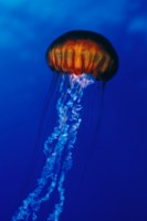 Jellyfish picture PH7644425