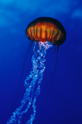 Jellyfish poster PH7775622