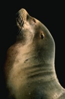 SeaLion picture PH7776967