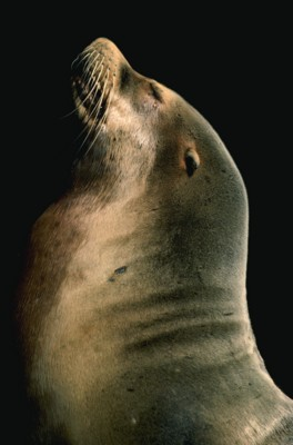 SeaLion poster PH7776967