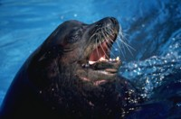 SeaLion picture PH7777004