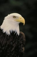 Bald Eagles picture PH7777569