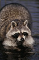 Raccoon picture PH7778907
