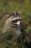 Raccoon picture PH7778944