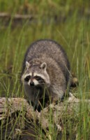 Raccoon picture PH7778975