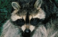 Raccoon picture PH7779079