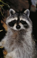 Raccoon picture PH7779114