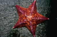 StarFish picture PH7779309