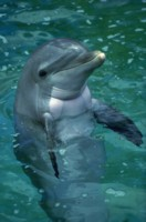 dolphin picture PH7779370