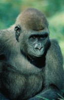 Gorilla picture PH7780600