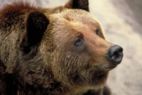 Brown Bear picture PH7792372