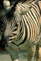 zebra picture PH7801555