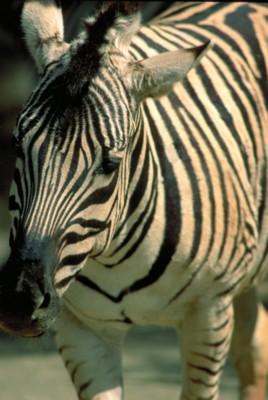 zebra poster PH7792863