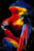 Parrot picture PH7793667