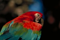 Parrot picture PH7793702