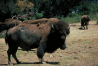 Buffalo & Bison picture PH7793999