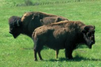 Buffalo & Bison picture PH7794035
