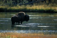 Buffalo & Bison picture PH7794067