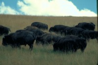 Buffalo & Bison picture PH7794137