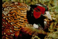Pheasant picture PH7794326