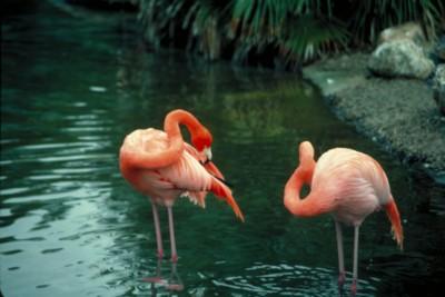 Flamingo poster PH7794808