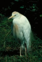 Egret picture PH7795050