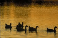Ducks & Loons picture PH7795661