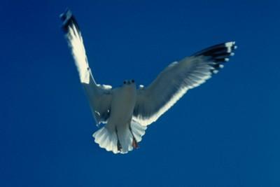 gull poster PH7795945