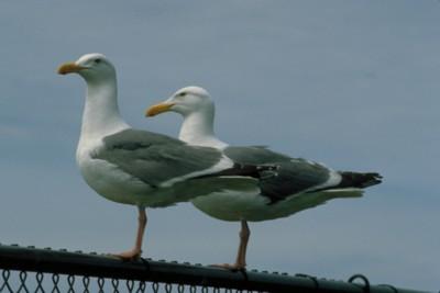 gull poster PH7796124