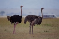 Ostrich picture PH7798634