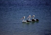 Pelican picture PH7799353