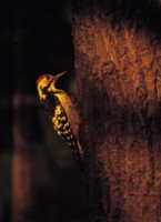 Woodpecker picture PH7799395