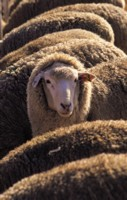 Sheep picture PH7799504