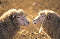Sheep picture PH7799653