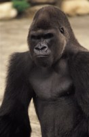 Gorilla picture PH7799701