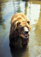 Brown Bear picture PH7800052