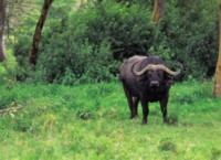 Buffalo & Bison picture PH7800113