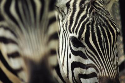 Zebra poster PH7800337