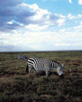 Zebra poster PH7800363