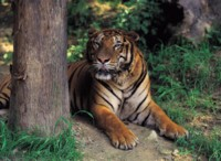 Tiger picture PH7800565