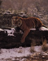 Tiger picture PH7800597