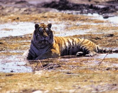 Tiger poster PH7800602