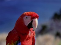 Parrot picture PH7800608