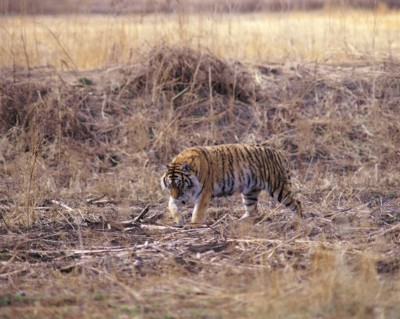 Tiger poster PH7800636