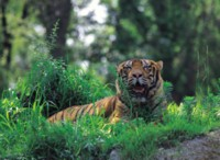 Tiger picture PH10918487